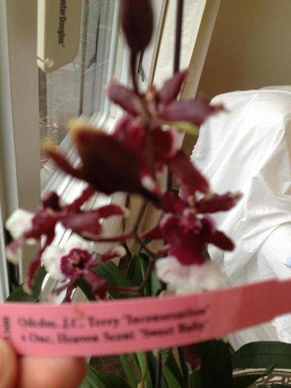 I don't understnad the name of this orchid from the label-095-jpg