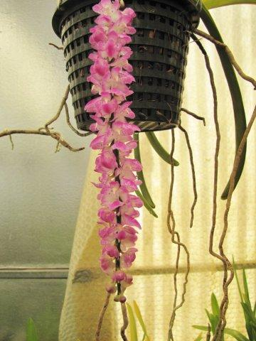 Aerides multiflora & rosea-aerides-multiflora-jpg