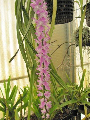 Aerides multiflora & rosea-img_0303-jpg