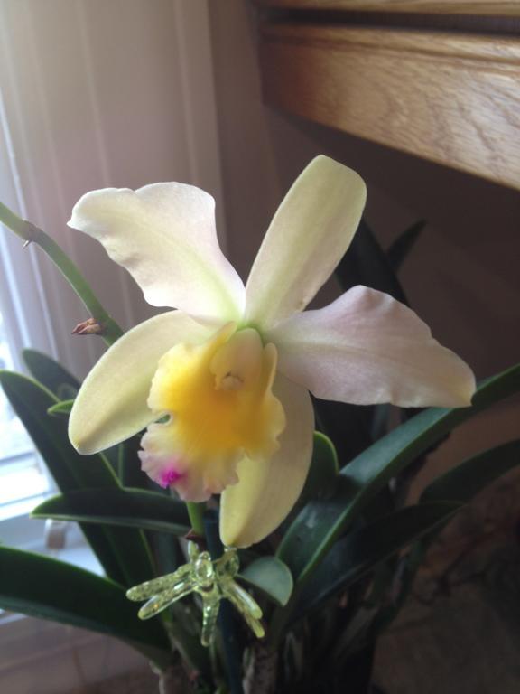Cattleya ID-285-jpg