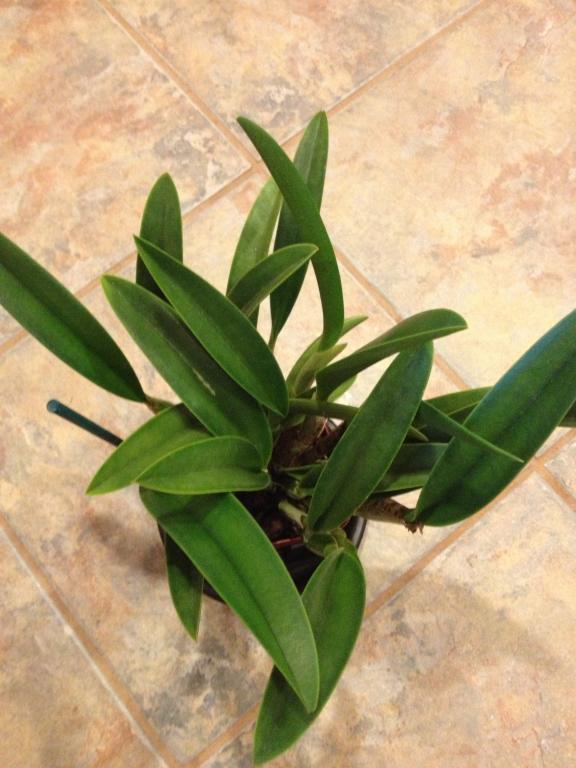 Cattleya ID-004-jpg