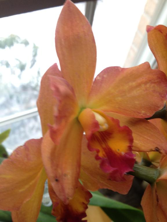 Orchid with color break tested positive for CymMV & ORSV-orchids-020-jpg