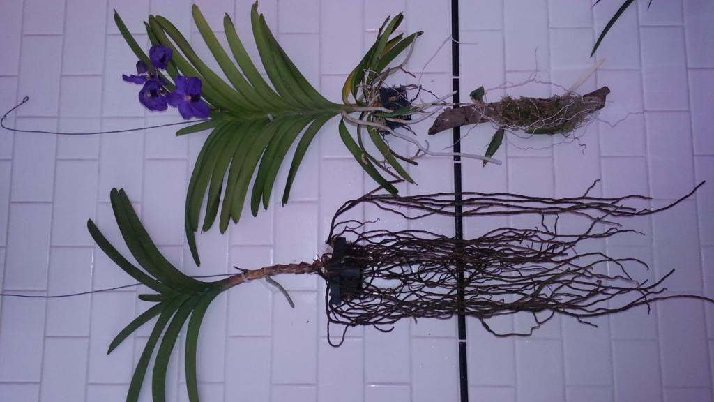 vanda root question-20130202_131000-jpg