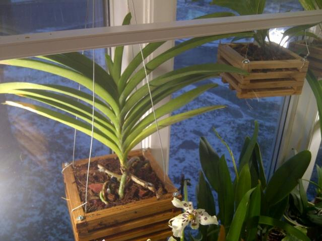 vanda root question-vanda-jpg