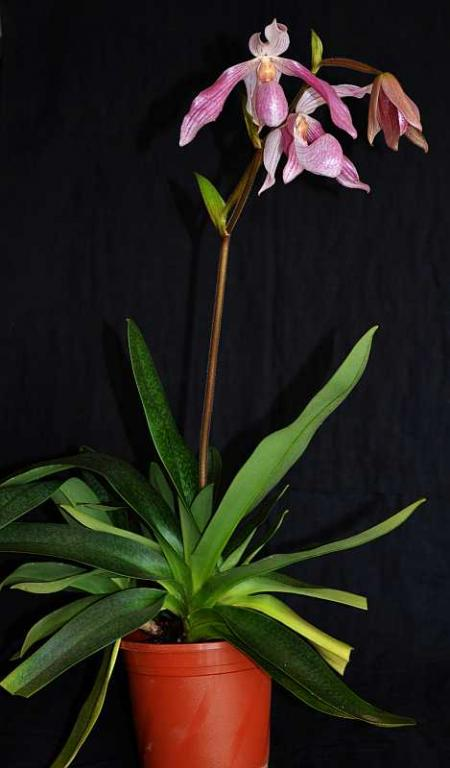Paph. Doctor Toot-paph-doctor-toot-jpg