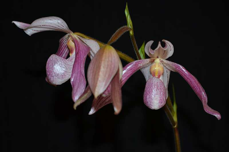 Paph. Doctor Toot-paph-doctor-toot-1-jpg