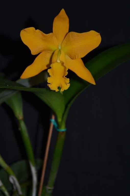Rhyncholaeliocattleya Daffodil-blc-daffodil-jpg