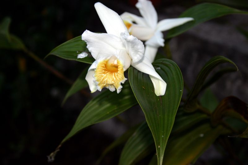 Beautiful but only for one day-sobralia-powellii-jpg