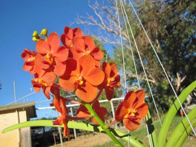 Ascda. Yip Sum Wah 'RF Orchid'-img_0318-jpg