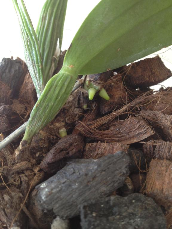 Please help with my Cattleya, don't know why leaf is drooping at pseudobulb-006-jpg