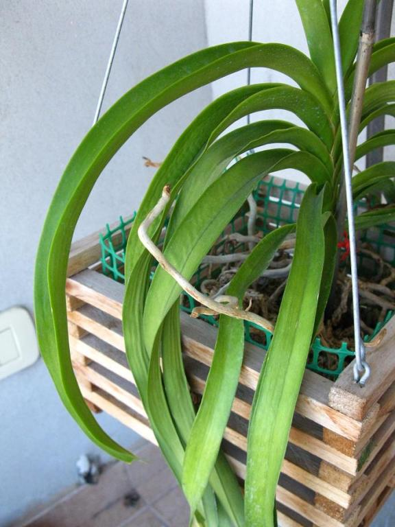 Vanda with wrinkled leaves.-img_1663-compressed-jpg