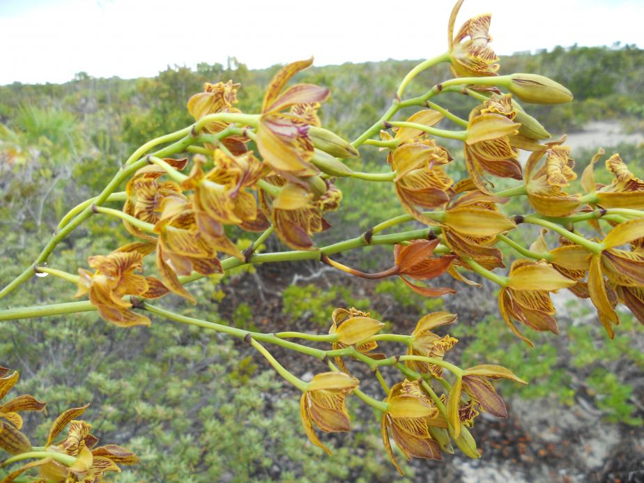 Encyclia altissima in the Turks & Caicos Islands-dscn1758-jpg