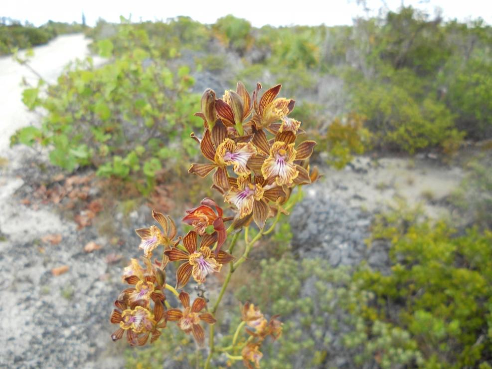 Encyclia altissima in the Turks & Caicos Islands-dscn1759-jpg