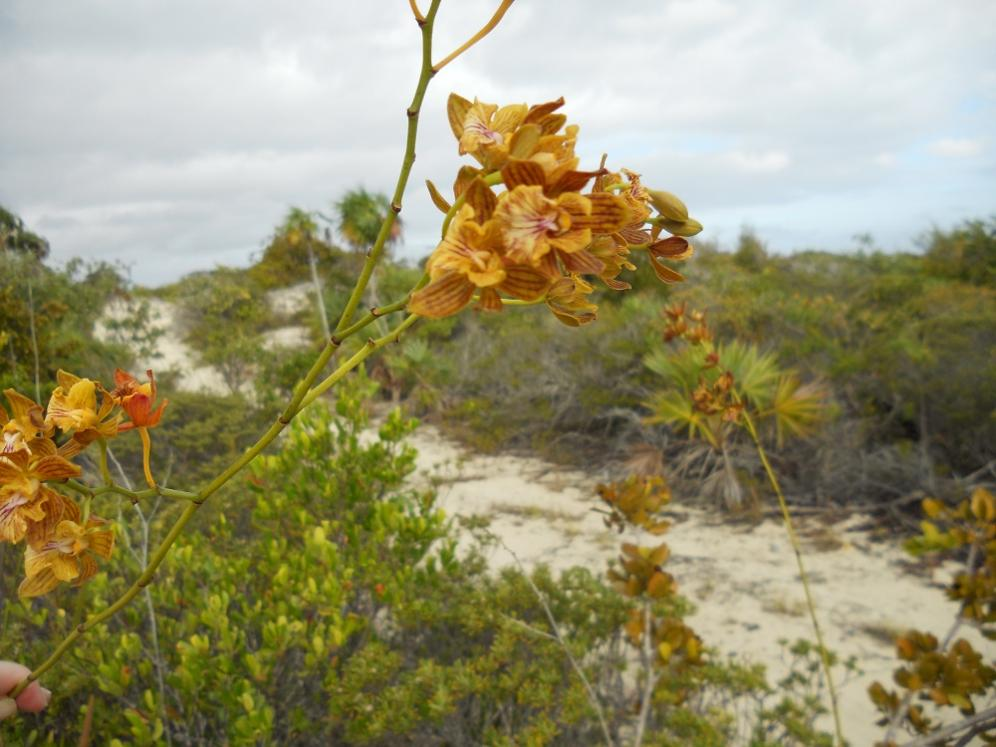 Encyclia altissima in the Turks & Caicos Islands-dscn1767-jpg