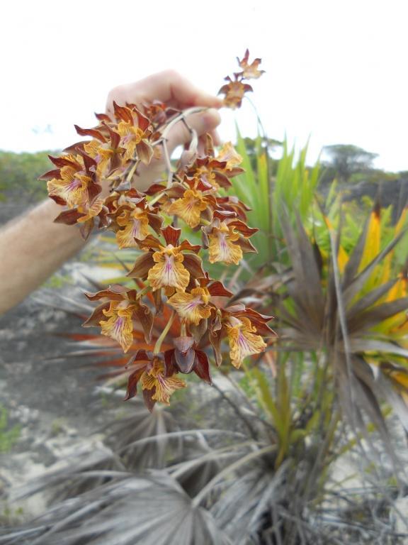 Encyclia altissima in the Turks & Caicos Islands-dscn1789-jpg