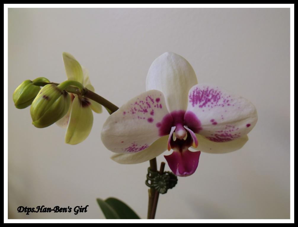 Some  Phal's in Bloom-dtps-han-bens-girl-jpg