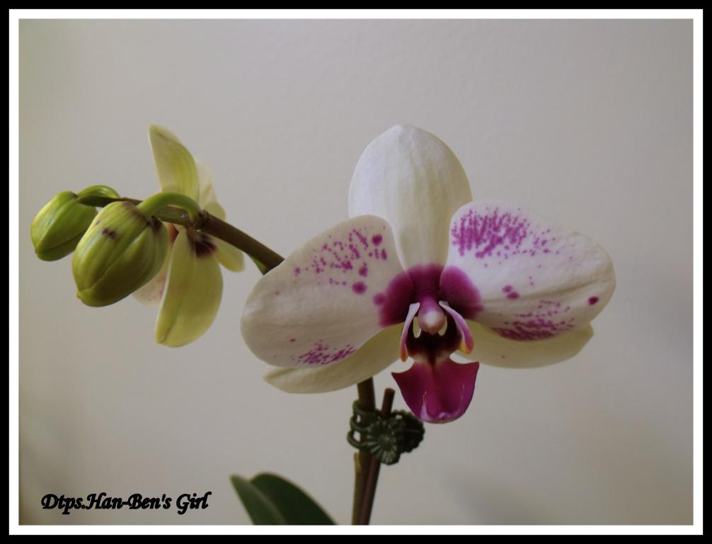 Some  Phal's in Bloom-dtps-han-bens-girl-jpg