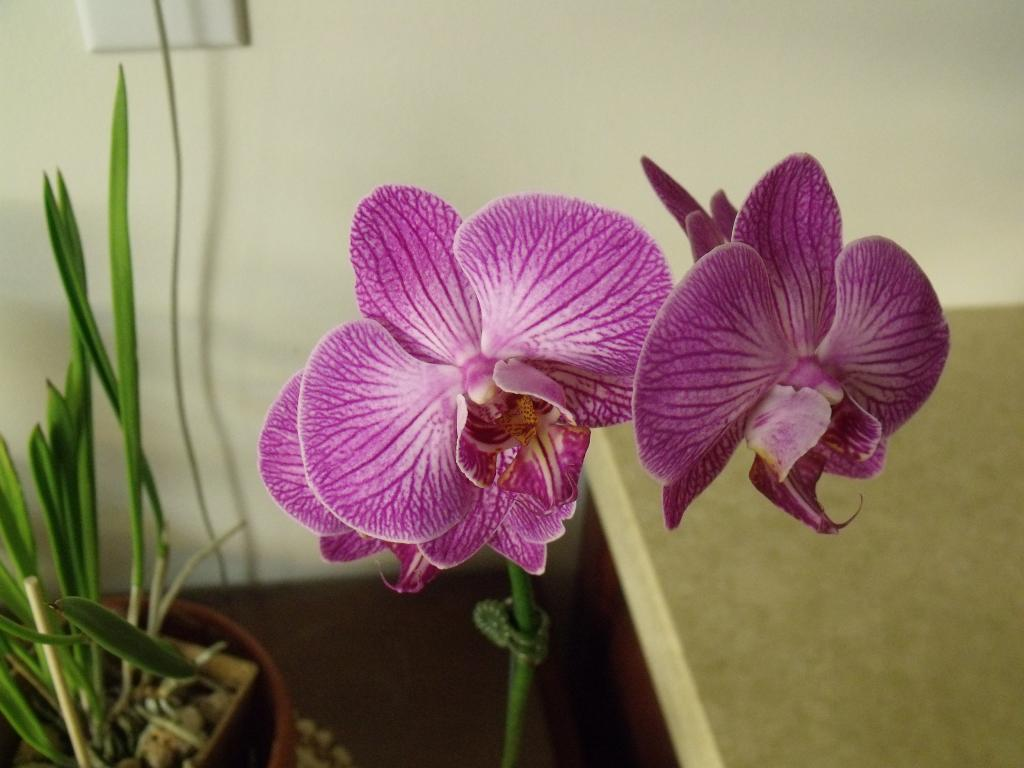 Some  Phal's in Bloom-orchids-039-jpg