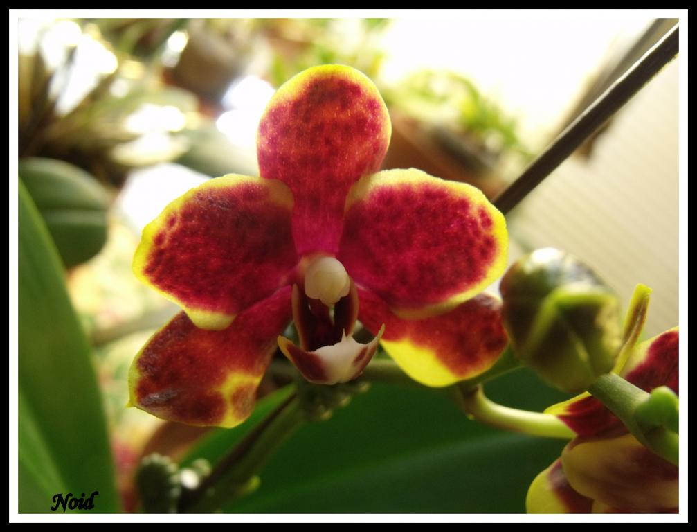 Some  Phal's in Bloom-noid-jpg