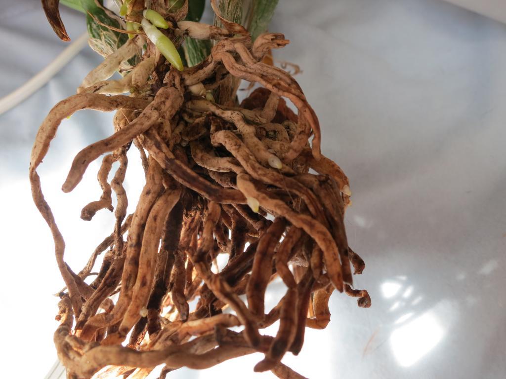 Burana beauty Sick;wrinkly leaves,half-brown pseudobulbs-img_0929-jpg