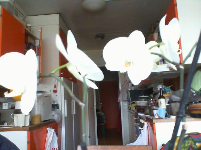White Phaleonopsis-white-phaleonopsis-colours-february-jpg