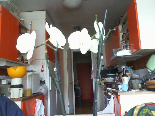White Phaleonopsis-white-phaleonopsis-february-jpg