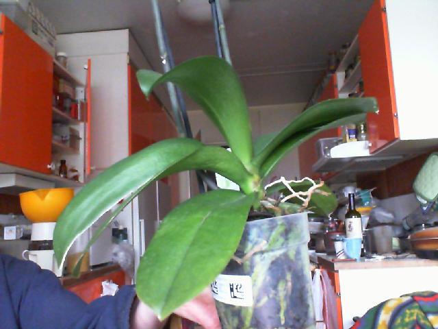 White Phaleonopsis-white-phaleonopsis-leaves-jpg