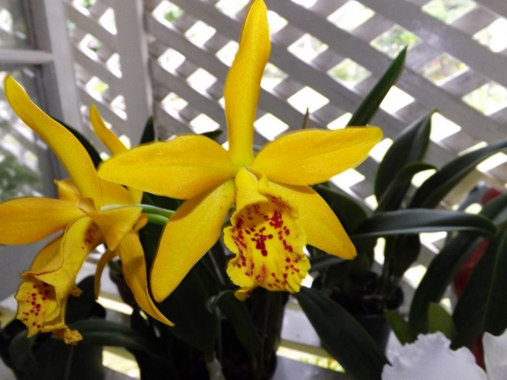 Blc. Golden Tang 'Tiger'-dscf2071-copy-jpg