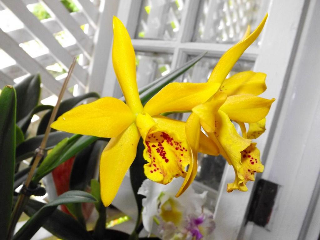 Blc. Golden Tang 'Tiger'-dscf2072-copy-jpg