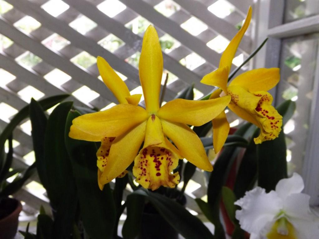 Blc. Golden Tang 'Tiger'-dscf2073-copy-jpg