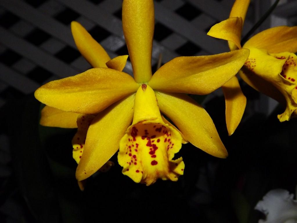 Blc. Golden Tang 'Tiger'-dscf2075-copy-jpg