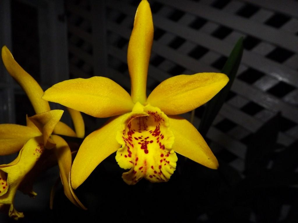 Blc. Golden Tang 'Tiger'-dscf2079-copy-jpg