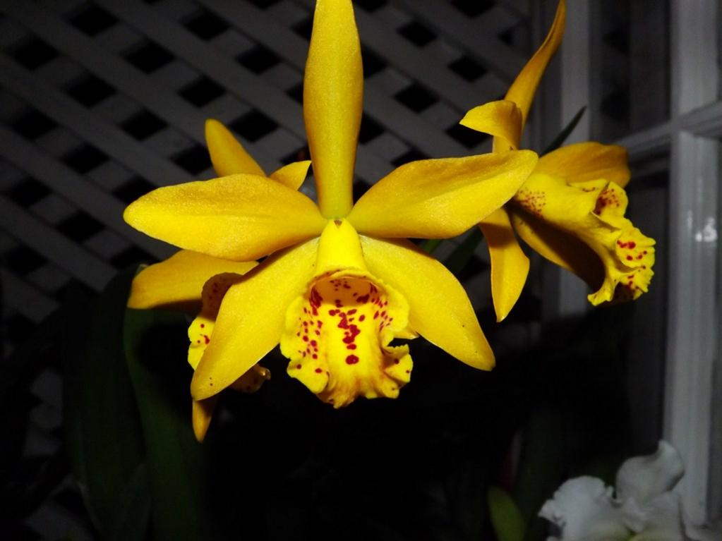 Blc. Golden Tang 'Tiger'-dscf2080-copy-jpg