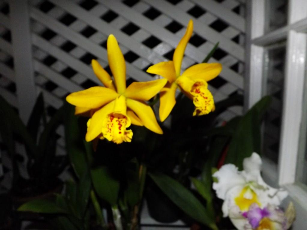 Blc. Golden Tang 'Tiger'-dscf2082-copy-jpg