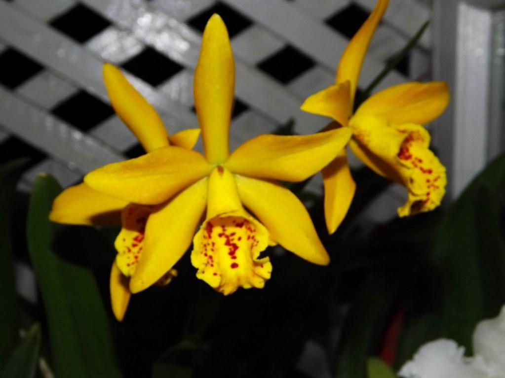 Blc. Golden Tang 'Tiger'-dscf2084-copy-jpg