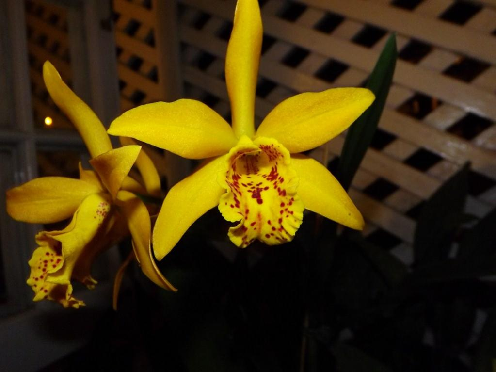 Blc. Golden Tang 'Tiger'-dscf2093-copy-jpg