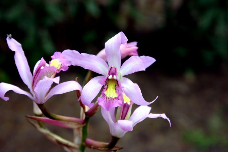 Blooming now in Jinotega-laelia-superbiens-jpg