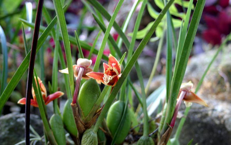 Blooming now in Jinotega-maxillaria-tenuifolia-jpg