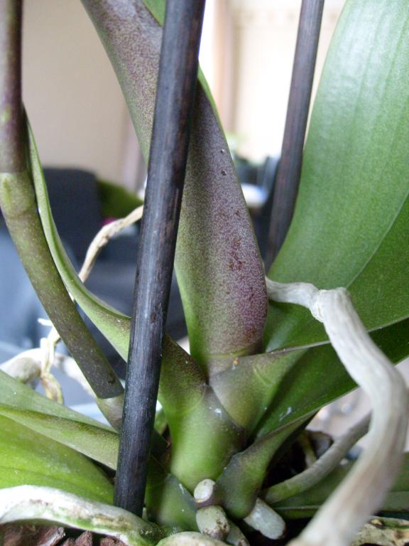 """Phal with """"translucent"""" leaves-orch_-094-jpg"""
