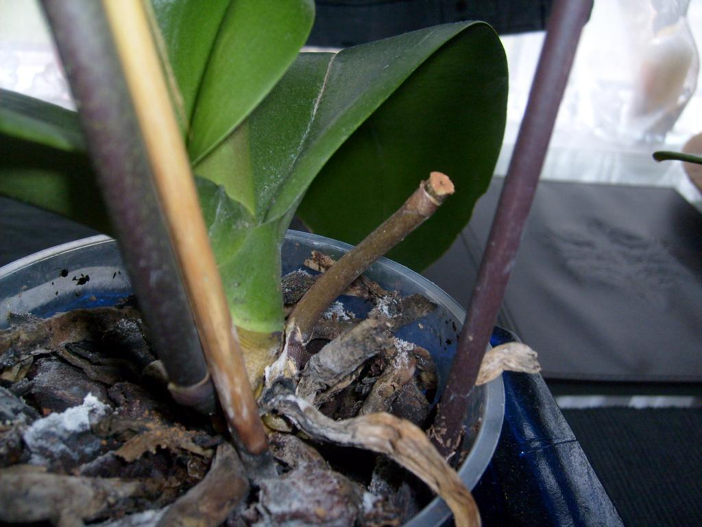 """Phal with """"translucent"""" leaves-orch_-073-jpg"""