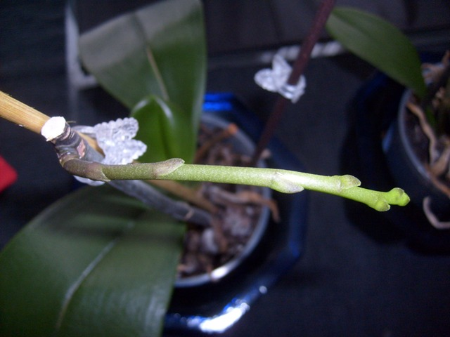 """Phal with """"translucent"""" leaves-orch_-076a-jpg"""