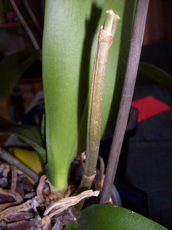 """Phal with """"translucent"""" leaves-orch_-078-jpg"""