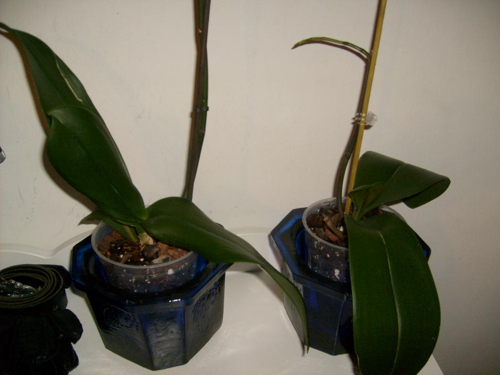 "Phal with ""translucent"" leaves-plant_-011-jpg"