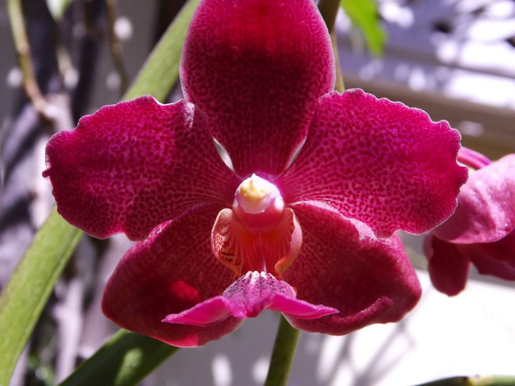 V. TMA 'Red' Fragrant-dscf2164-copy-jpg