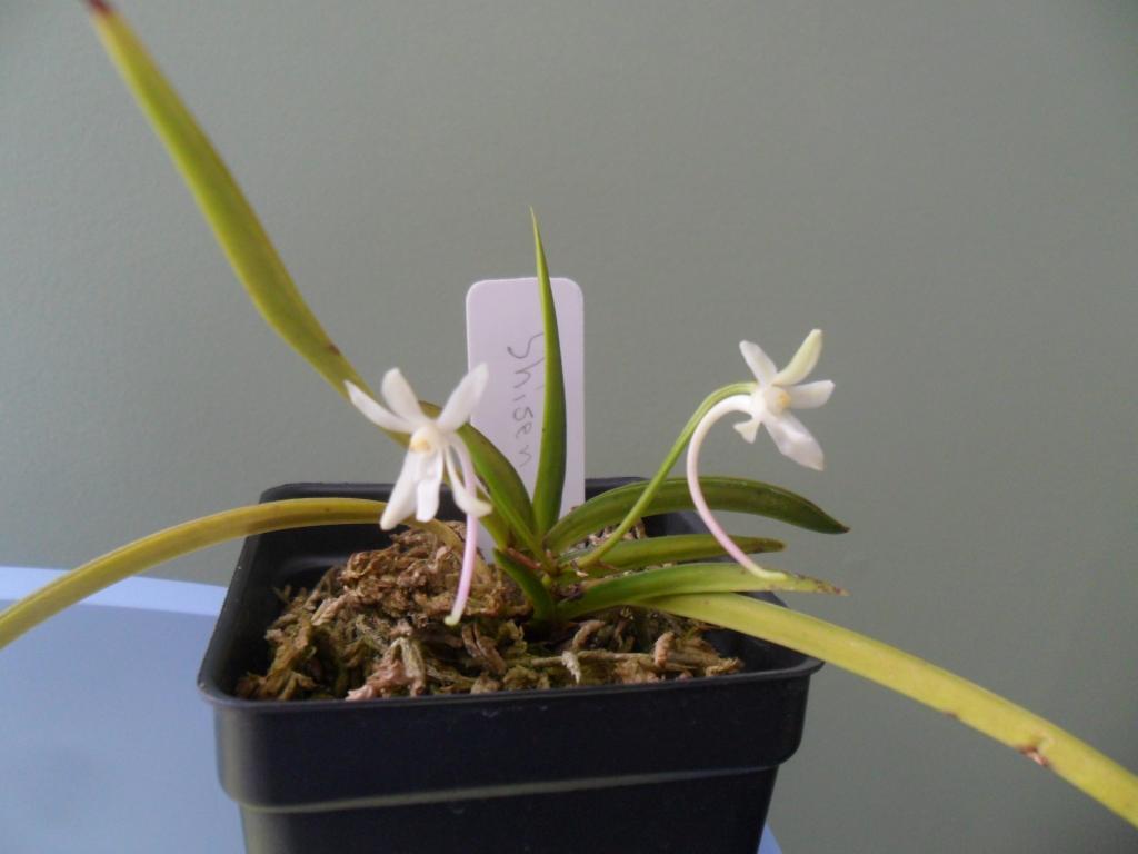 Chinese Neofinetia species identification-sam_0627-jpg