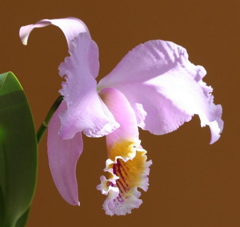 Cattleya mossiae standard pink-flowered variety-img_4963-jpg