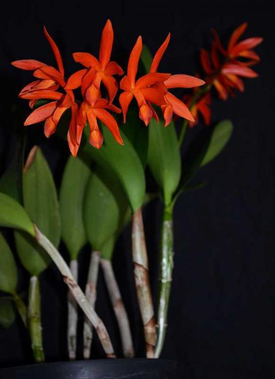 C. aurantiaca hybrid-aurantiaca-hybrid-jpg