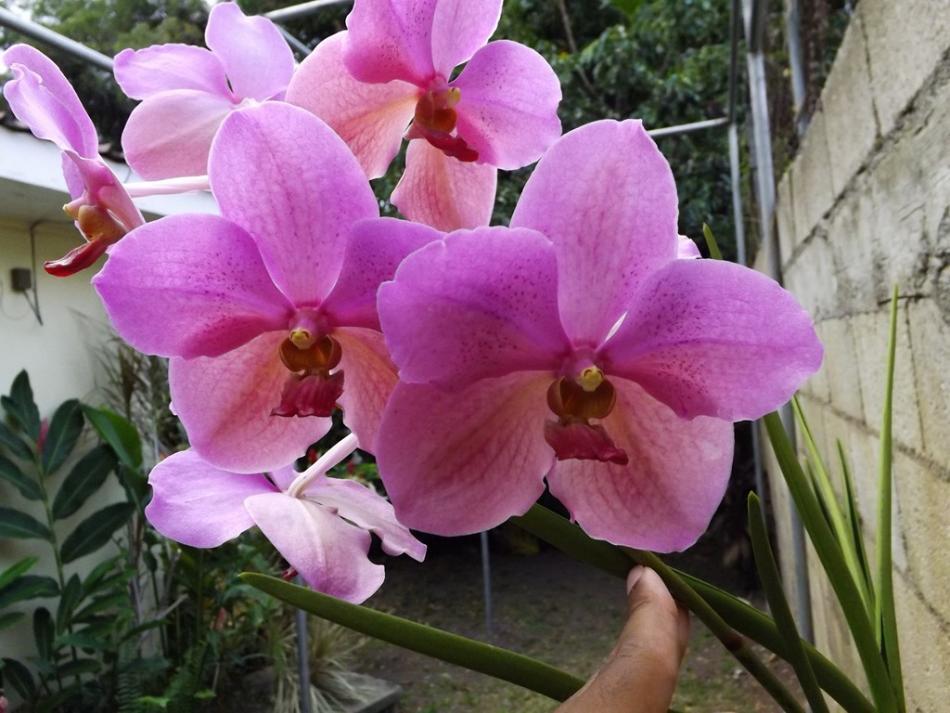 V. Merv L. Velthuis x Dr. Anek 2nd Blooming-dscf2254-copy-jpg