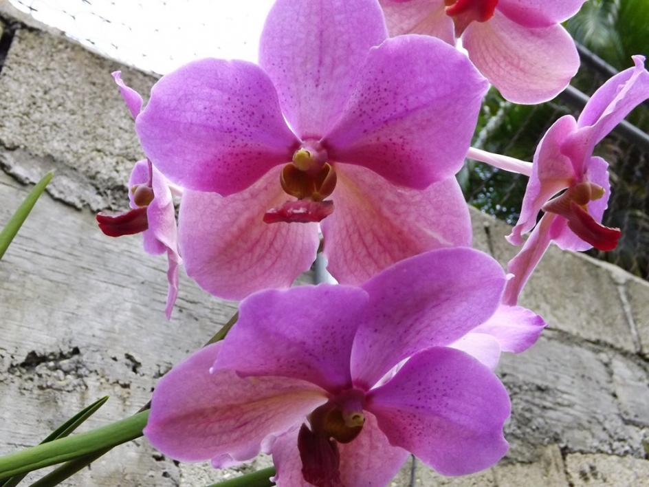V. Merv L. Velthuis x Dr. Anek 2nd Blooming-dscf2258-copy-jpg