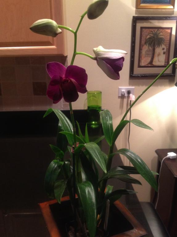 Dendrobium Bigibbum care???-image-jpg